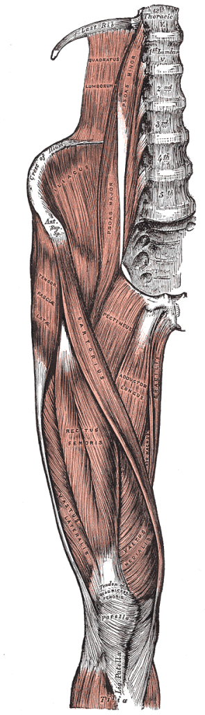 Right side human thigh and pelvis muscles from Gray's anatomy plate 430